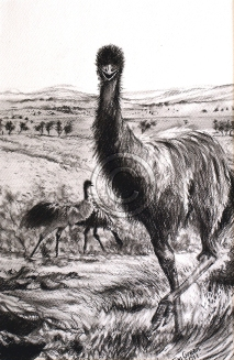 "Teenage emu at Hucks Point. Charcoal. ""Sold""."