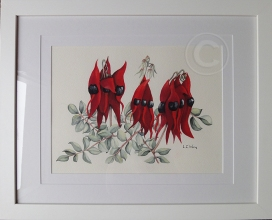 Sturt Desert Peas 'Watercolour' 510 x 410, Framed 'Unsold'